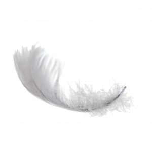 white swan feather isolated on white background